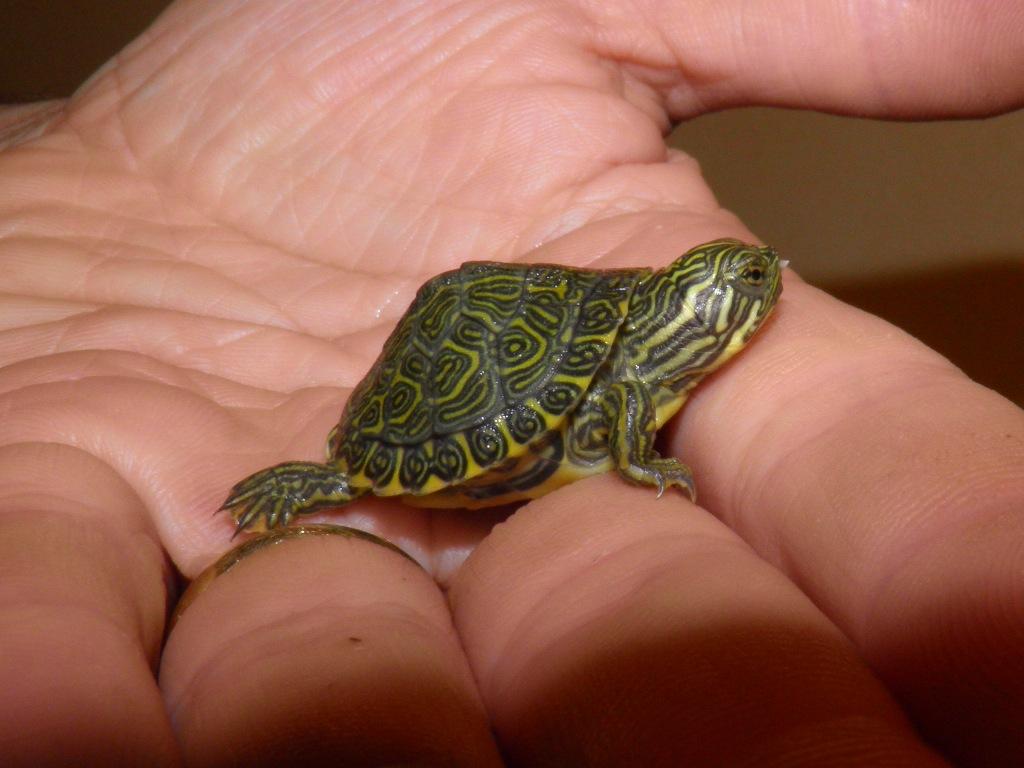 Accoppiamento e riproduzione prima nascita pseudemys for Accoppiamento tartarughe